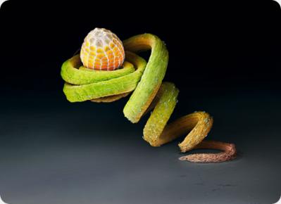 Oeuf de papillon sur une plante passiflora